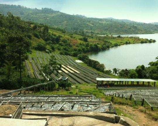 Microfarm Project: Rwanda Gashonga Red Bourbon
