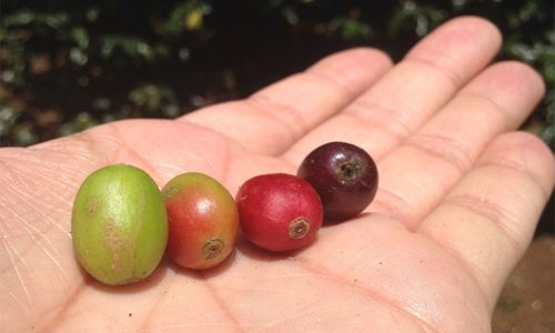 """The journey of coffee until it is graded as """"specialty coffee"""""""