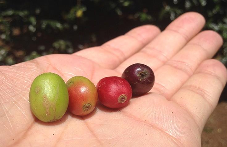 Το μακρύ ταξίδι του ποιοτικού καφέ μέχρι να αξιολογηθεί ως Specialty Coffee