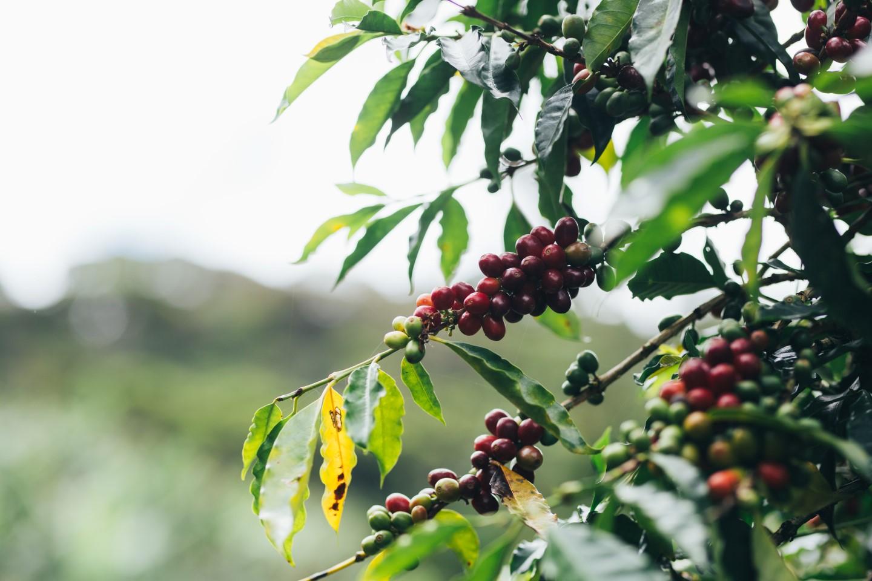 καφεόδεντρα