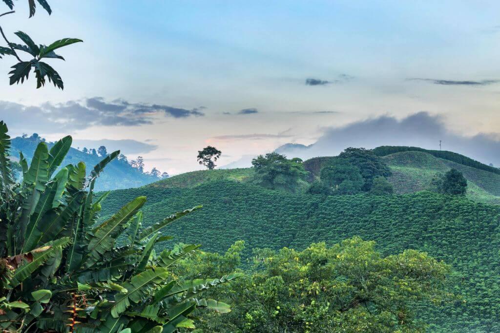ποικιλίες Castillo και Caturra