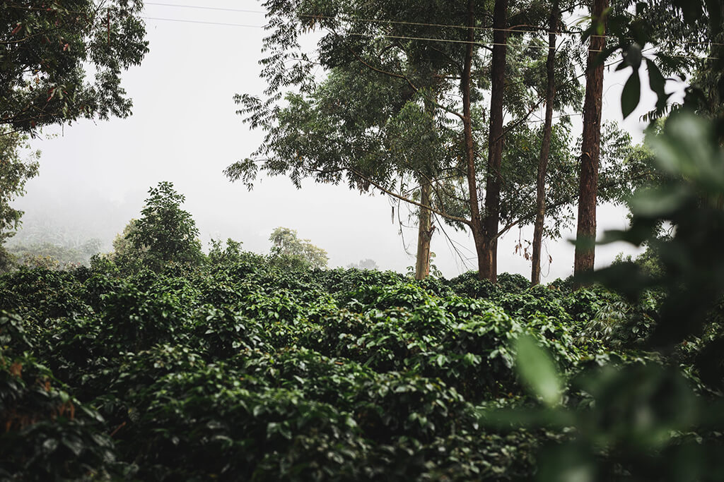 coffee_farm