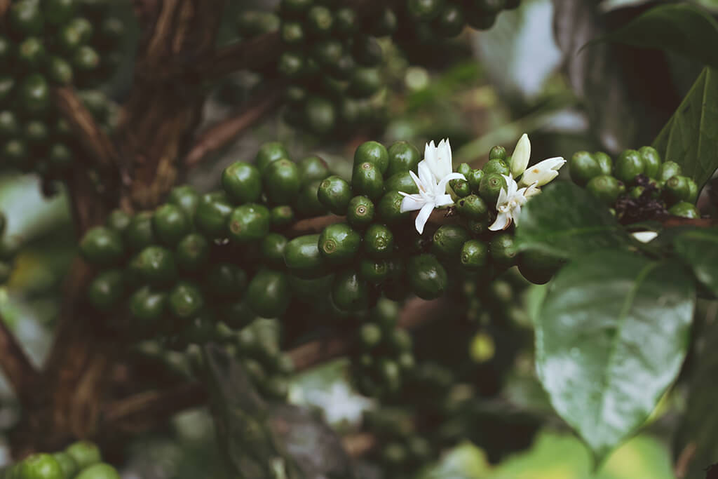 coffee_beans_tree