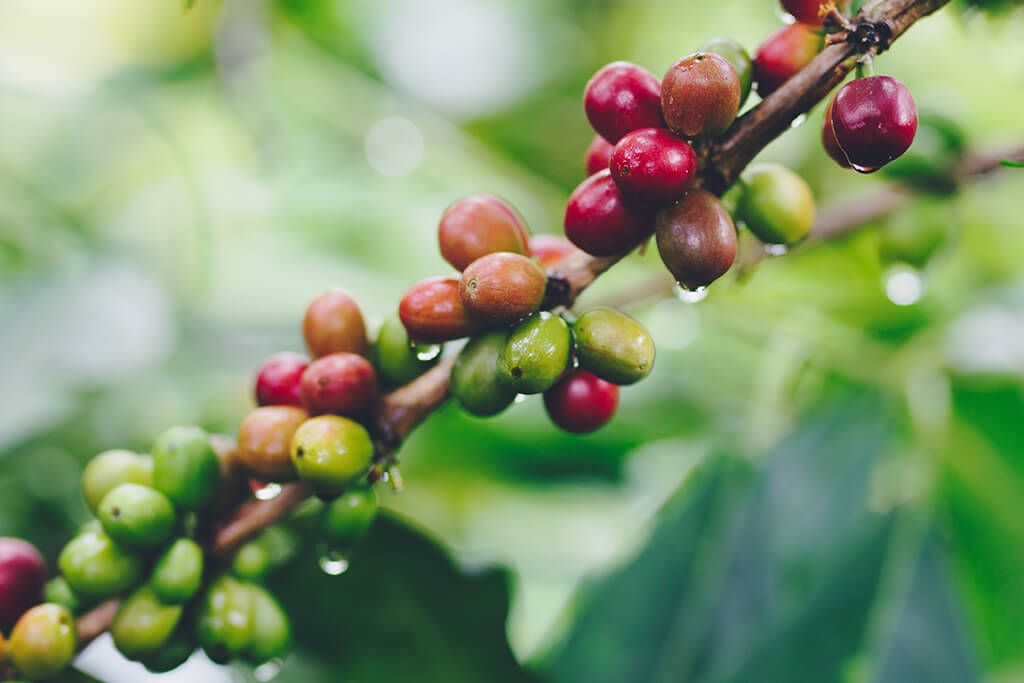 coffee_fruit