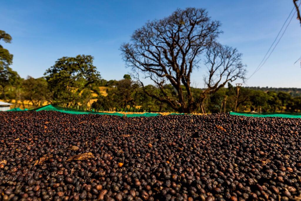 coffee_beans_tree