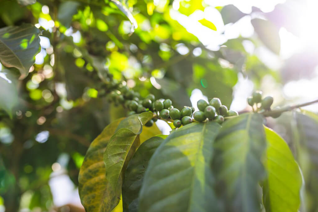 coffee_plant_sun_ethiopia