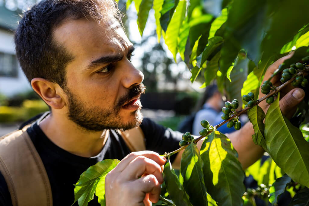 man_observing_coffee_plant