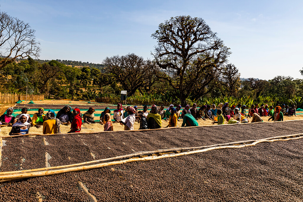 Ethiopian people collecting coffee beans