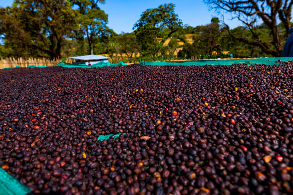 Coffee beans in Ethiopia.
