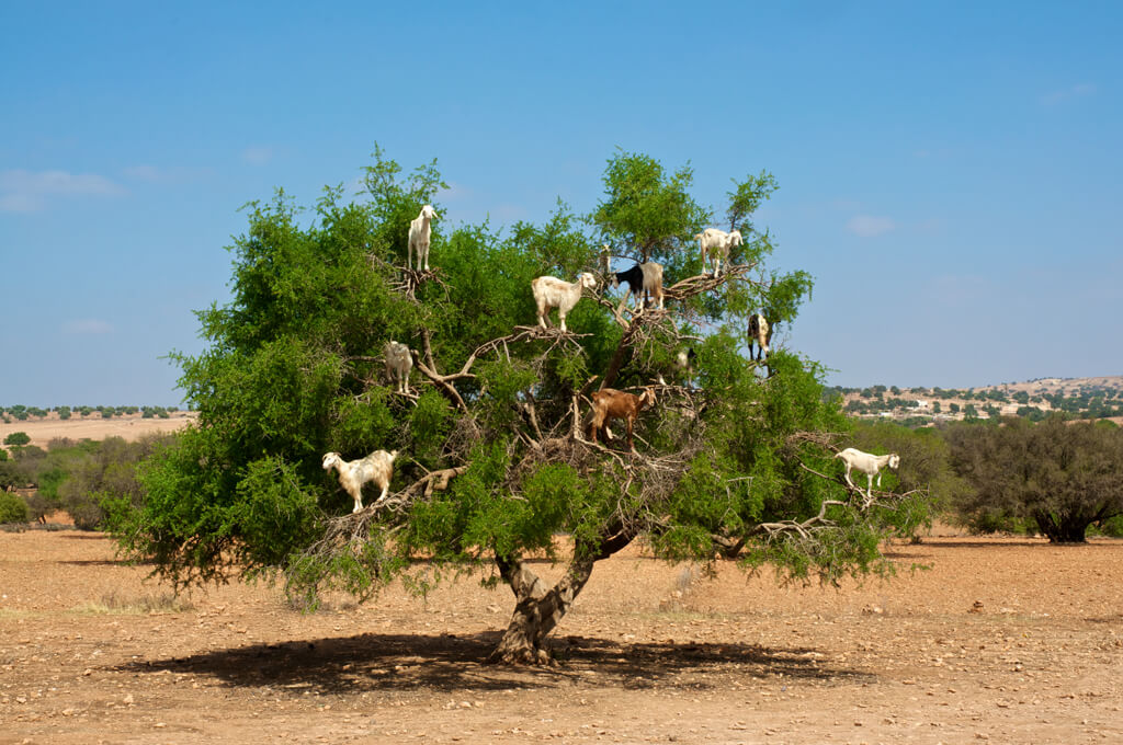 goats_sitting_on_a_tree