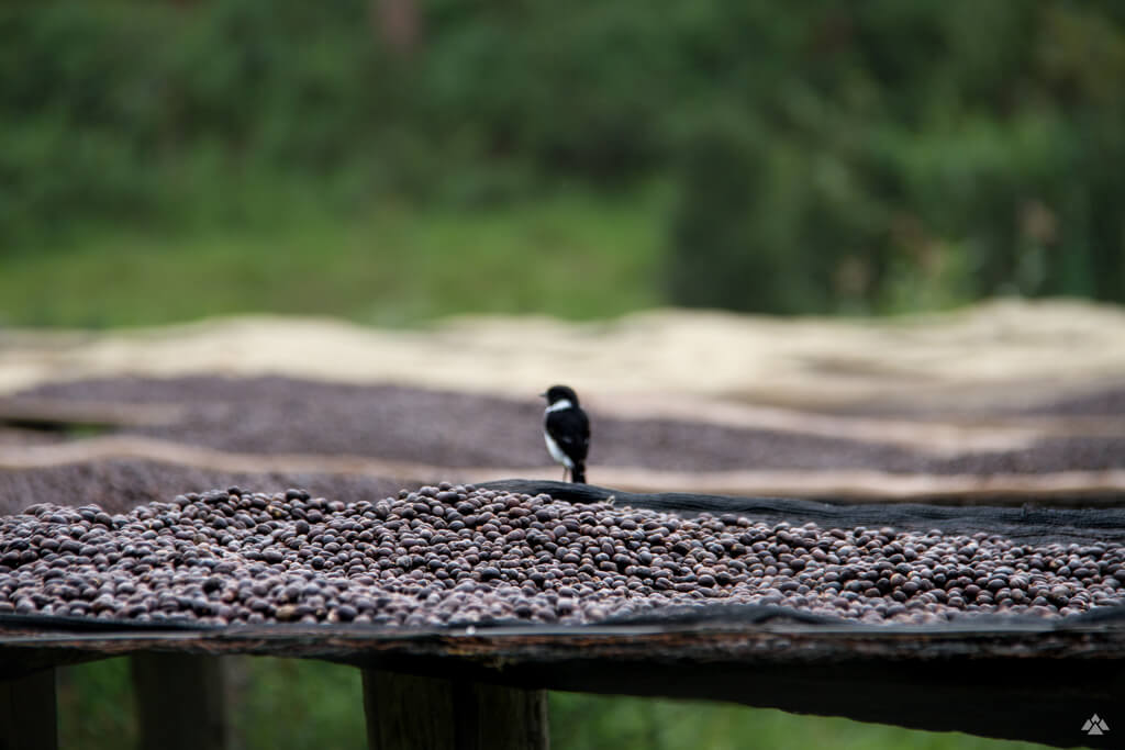 A bird in Africa sitting on top of coffee beans.